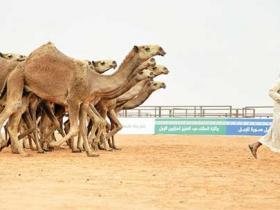 沙特鲁玛举办阿拉伯骆驼节